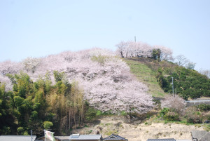 塔の峰千本桜