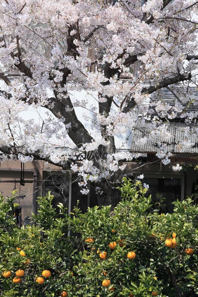 桜とミカン